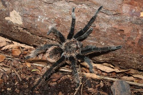Tarantulas May Be 'Right-Handed'