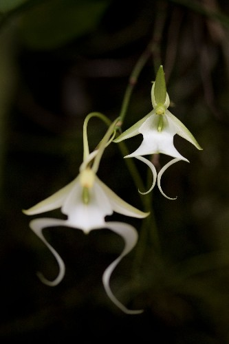 Florida's rare ghost orchids are getting cut off from water