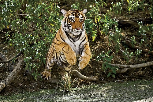 Spot tigers at these unique national parks