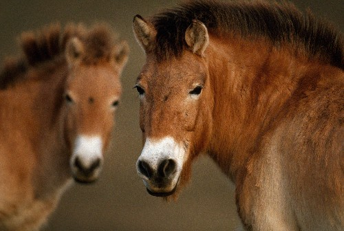 World's Oldest Genome Sequenced From 700,000-Year-Old Horse DNA