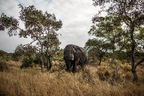 Elephant Poachers Take Aim at South Africa's Famed Refuge