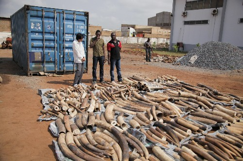 Forensic Technology Helps Case Against West African Ivory Dealer Accused as a Trafficker