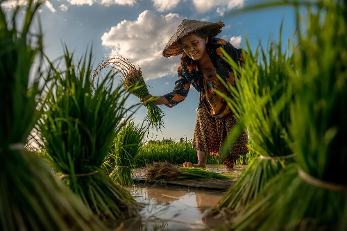 Your Shot: Rice, From the Paddy to Your Plate