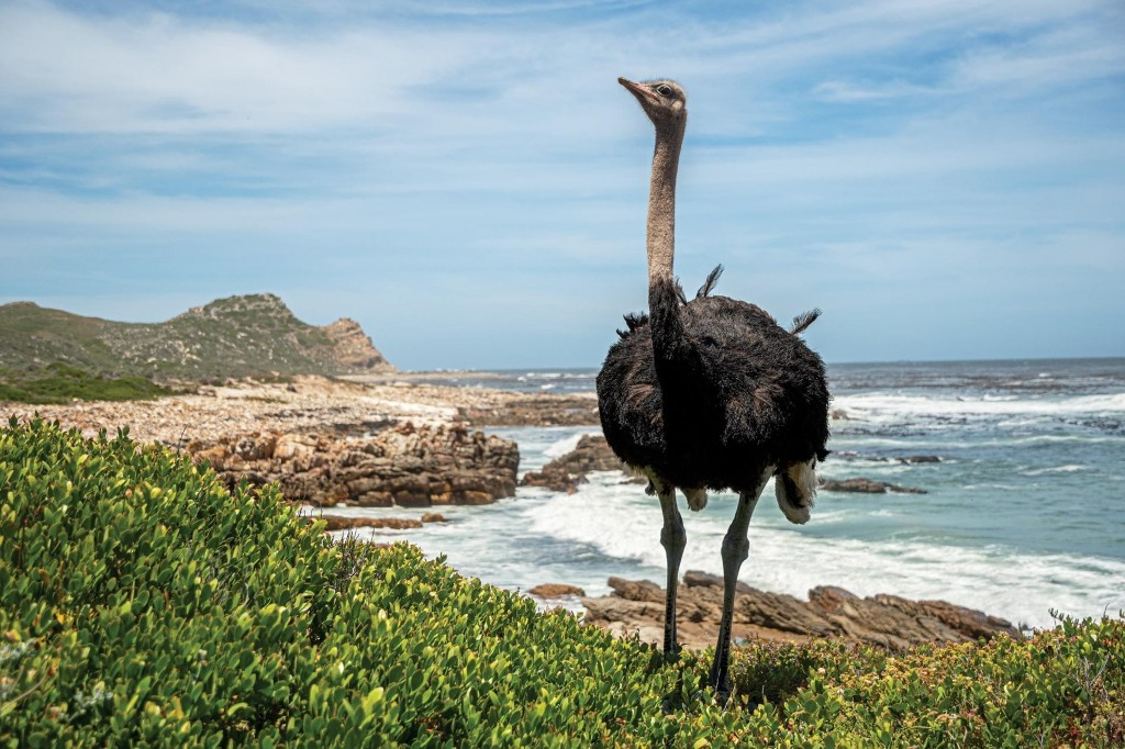 They may look goofy, but ostriches are nobody's fool