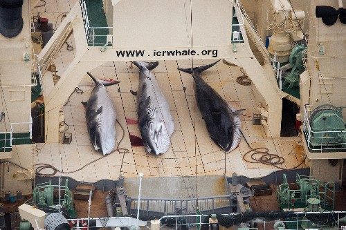Anti-Whaling Activists Put Focus on Complex Law and Bloody Tradition