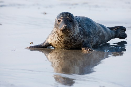 Cannibalism is more common than thought in gray seals
