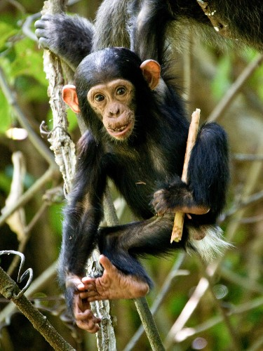 "Chimp ""Girls"" Play With ""Dolls"" Too—First Wild Evidence"