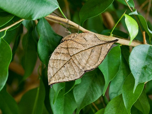 Mystery Solved? How Butterflies Came to Look Like Dead Leaves