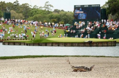 Turtles Flourishing in Golf Course Ponds