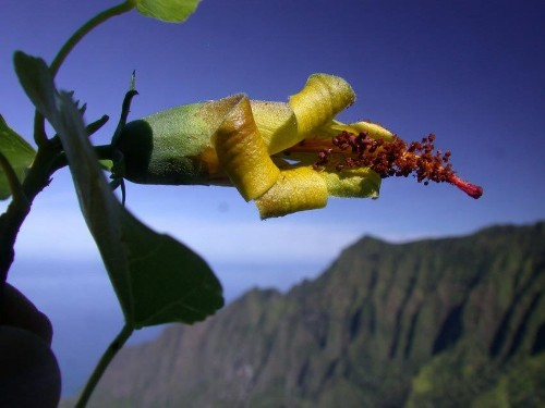 Extinct flower rediscovered in Hawaii, via drones