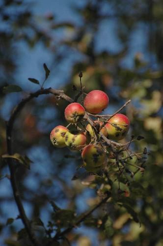 Apples of Eden: Saving the Wild Ancestor of Modern Apples
