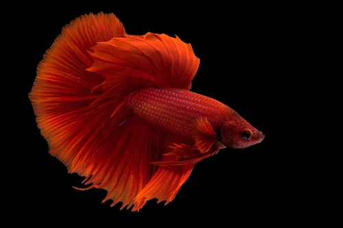 Betta fish often mistreated in pet industry, evidence suggests