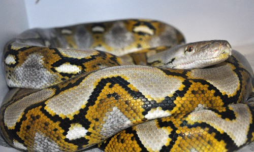 World's Longest Snake Has Virgin Birth—First Recorded in Species