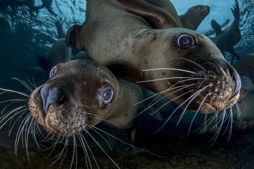 Stellars Sea Lions underwater, canada Photo by Steve Woods — National Geographic Your Shot