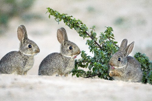Failure to Hunt Rabbits Part of Neanderthals' Demise?