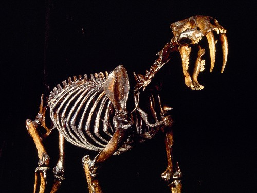 Sabertooths Had Weak Bites, Used Neck Muscles to Kill