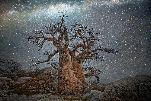 See the world's oldest trees by starlight