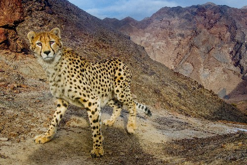 Jailed researchers trying to protect threatened cheetahs in Iran await verdict