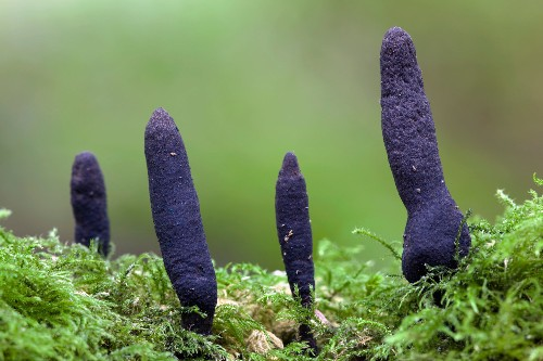These Bizarre Fungi Resemble Corpse Fingers, UFOs, Tongues