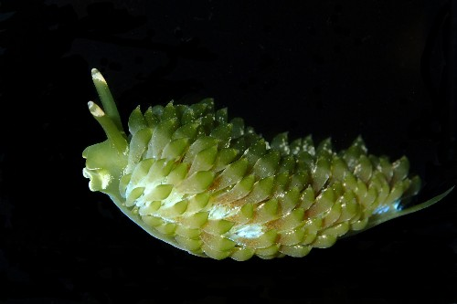 Stunning new sea slug species look just like seaweed