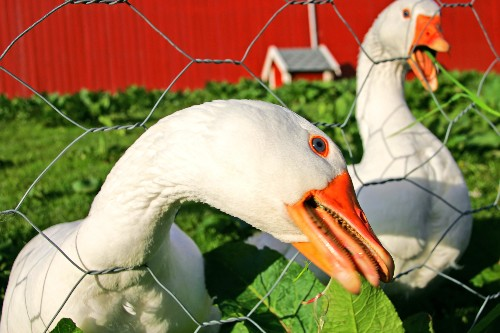Honk If You Think Geese Are Good Guard Dogs