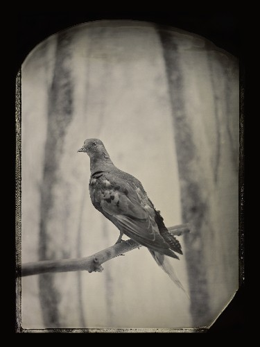 Century After Extinction, Passenger Pigeons Remain Iconic—And Scientists Hope to Bring Them Back