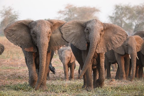 Under poaching pressure, elephants are evolving to lose their tusks