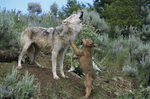 Calls of the Wild—Why Do Animals (Including Your Dog) Howl?