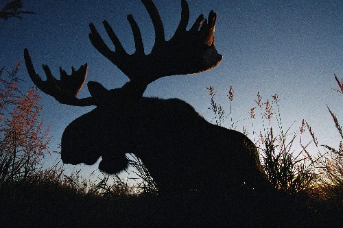 Weird Animal Question of the Week: How Do Moose Get So Big Eating Plants?
