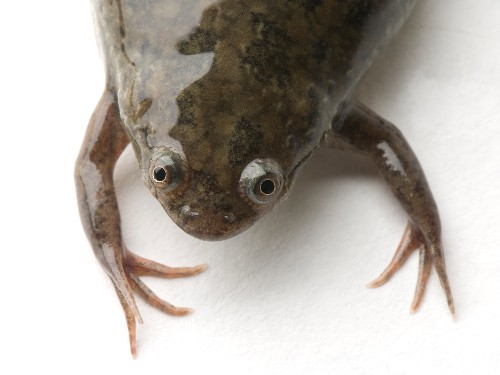 African Clawed Frog Spreads Deadly Amphibian Fungus