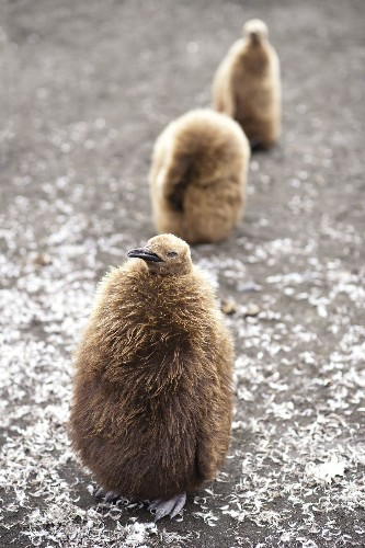 Young King pinguins, Crozet, TAAF Photo by Bruno MARIE — National Geographic Your Shot