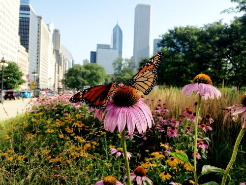 Monarch butterflies are dying out. Here's how cities can help.