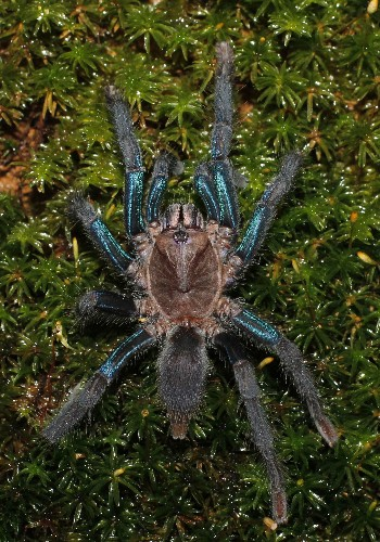 Shimmery blue tarantula discovered