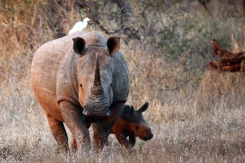 1,000+ Rhinos Poached in 2013: Highest in Modern History