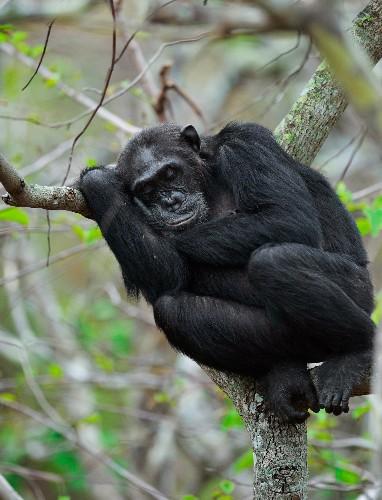 Chimpanzees Make Beds That Offer Them Best Night's Sleep