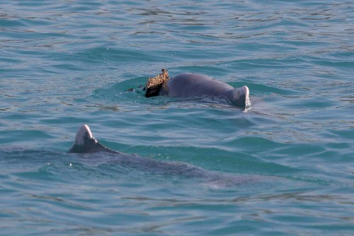 Male Dolphins Offer Likely Love Token to Females in Rare Video