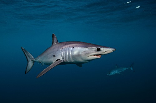 Mako sharks get new protections from trade