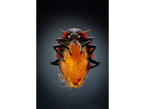 Wasp Zombifies Ladybugs Using Virus as Bio-Weapon—a First