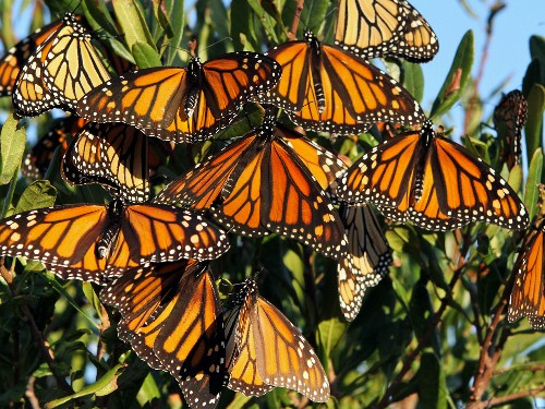 As Dwindling Monarch Butterflies Make Their Migration, Feds Try to Save Them