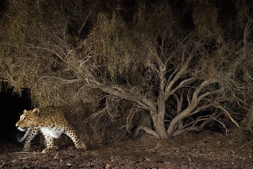 For Leopards in Iran and Iraq, Land Mines Are a Surprising Refuge