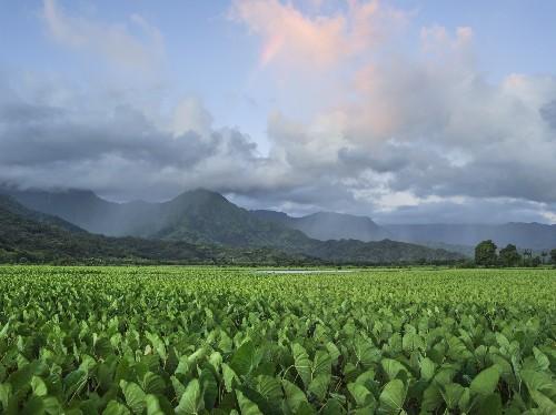 Reviving Hawaii's Most Valued Crop
