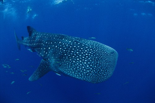 The World's Largest Whale Sharks Are Disappearing