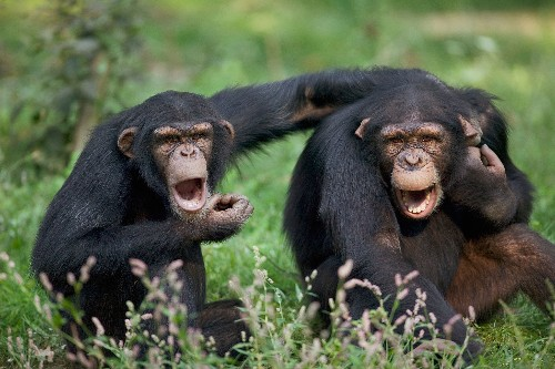 Swearing Is Good For You—And Chimps Do It, Too