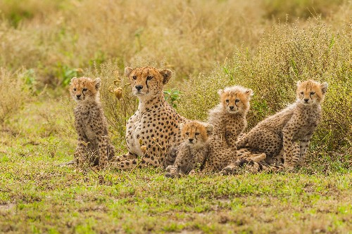 This impoverished region is a hub for the cheetah trade. Now it's fighting back.