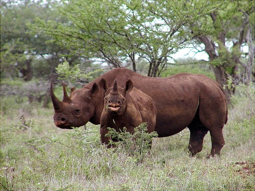 Death Threats Seen Over Rhino Hunt Auction