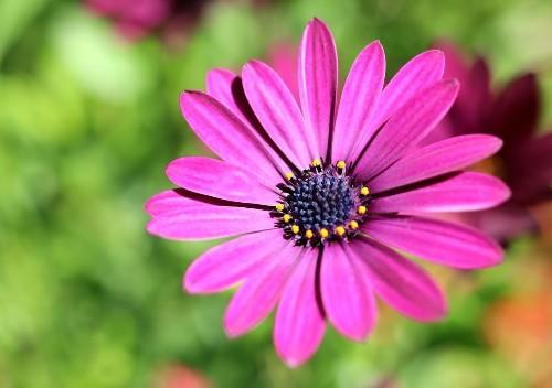 Joyful Gorgeous Spanish Daisy Photo by Johanna Hurmerinta — National Geographic Your Shot