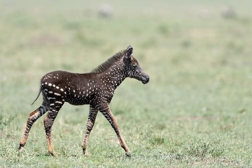 Rare polka-dotted zebra foal photographed in Kenya