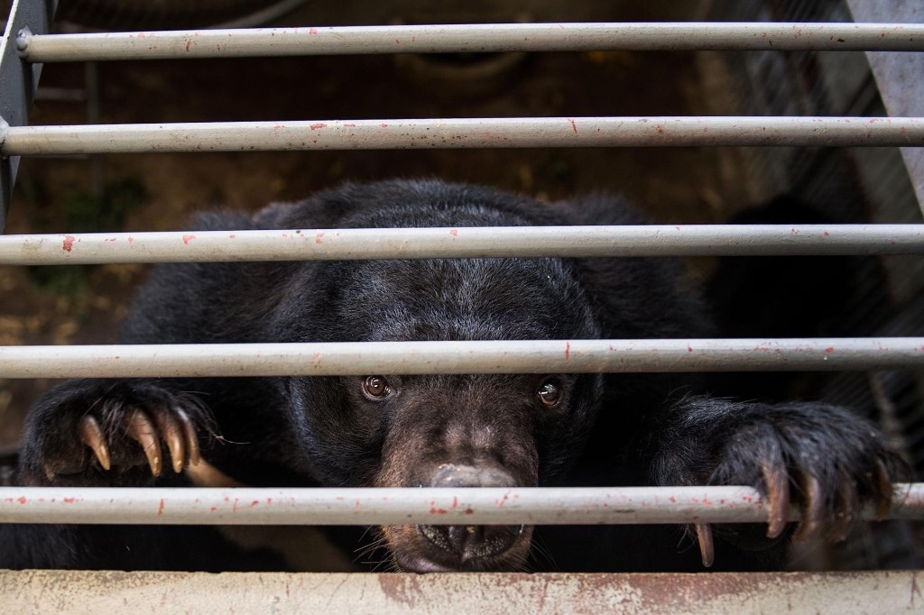 China promotes bear bile as coronavirus treatment, alarming wildlife advocates