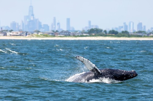 Whale populations in New York Harbor are booming—here's why
