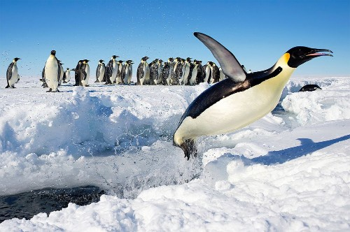 Busting Myths About Penguin Feathers